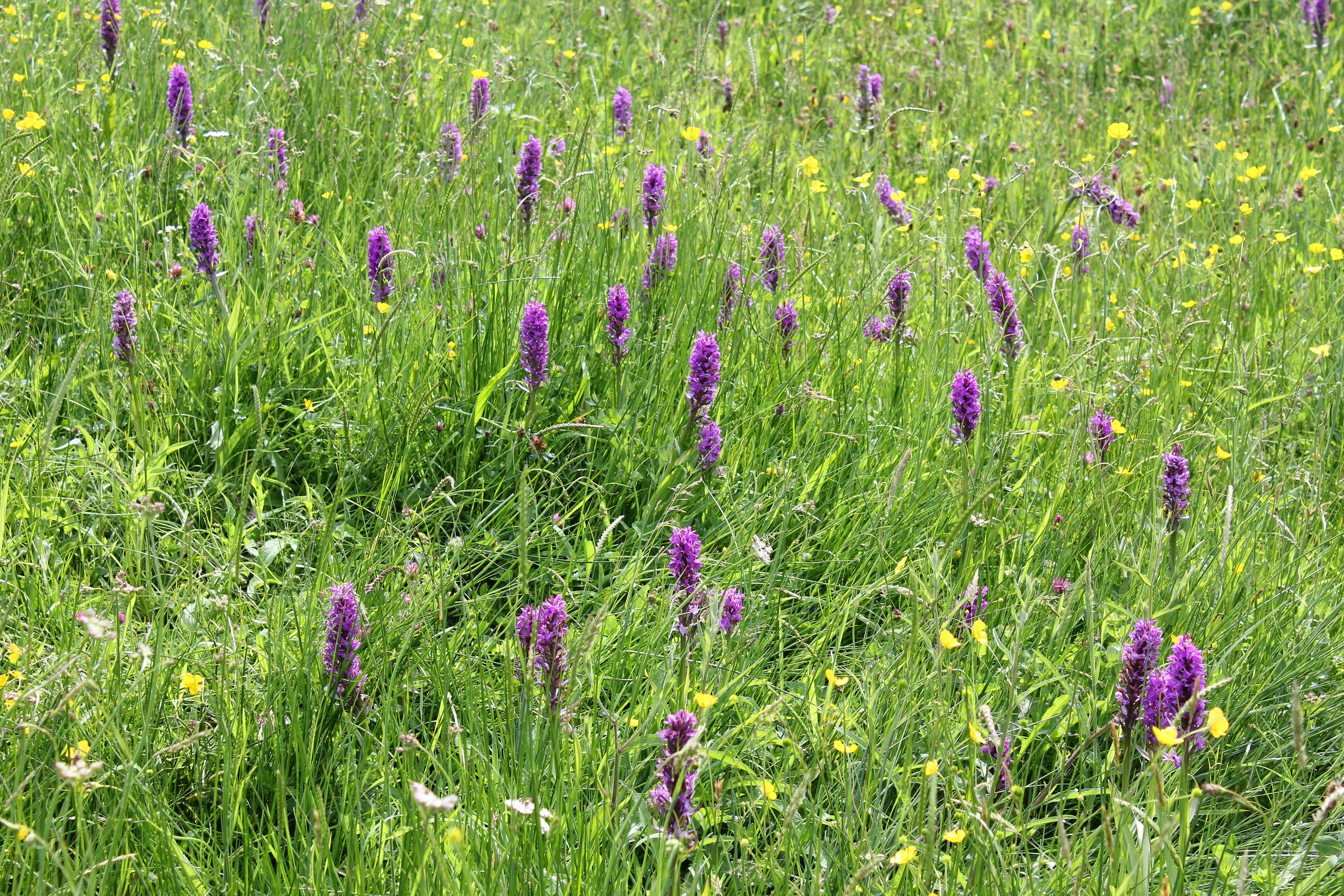 Southern Marsh-orchid