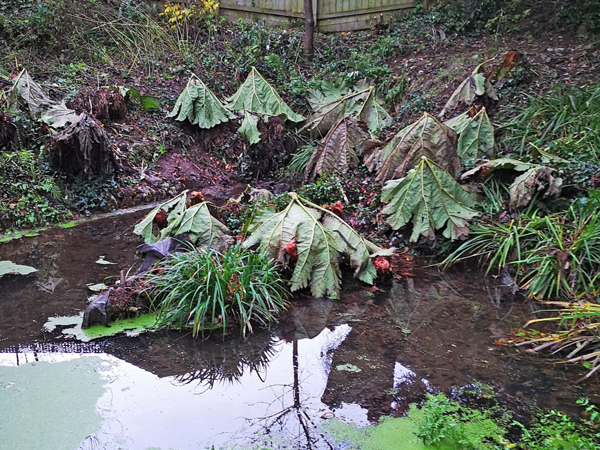 Gunnera manicata, hats on for winter protection