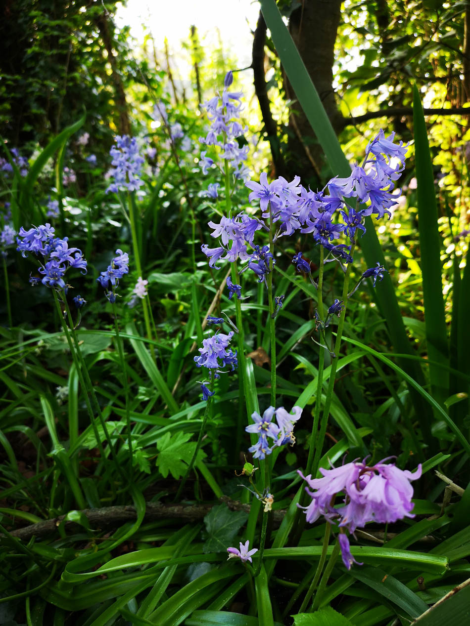 Spanish Bluebells on path above The Dell
