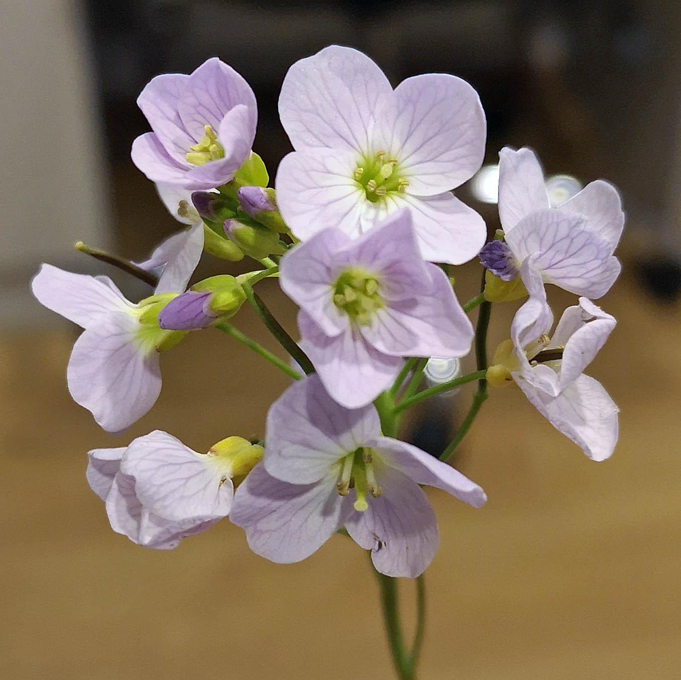 Cuckoo Flower - Cardamine