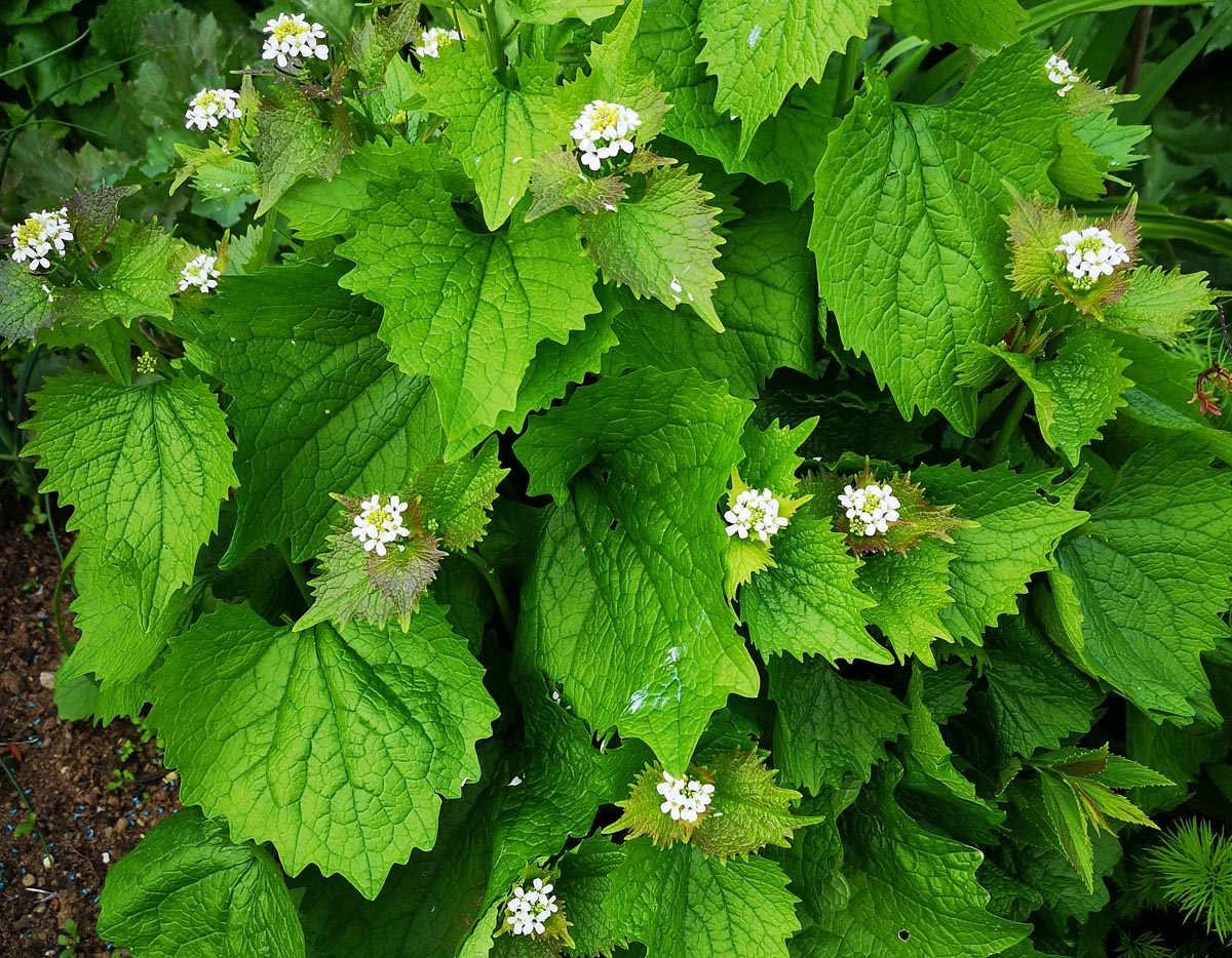 Garlic Mustard - Alliaria petiolaris