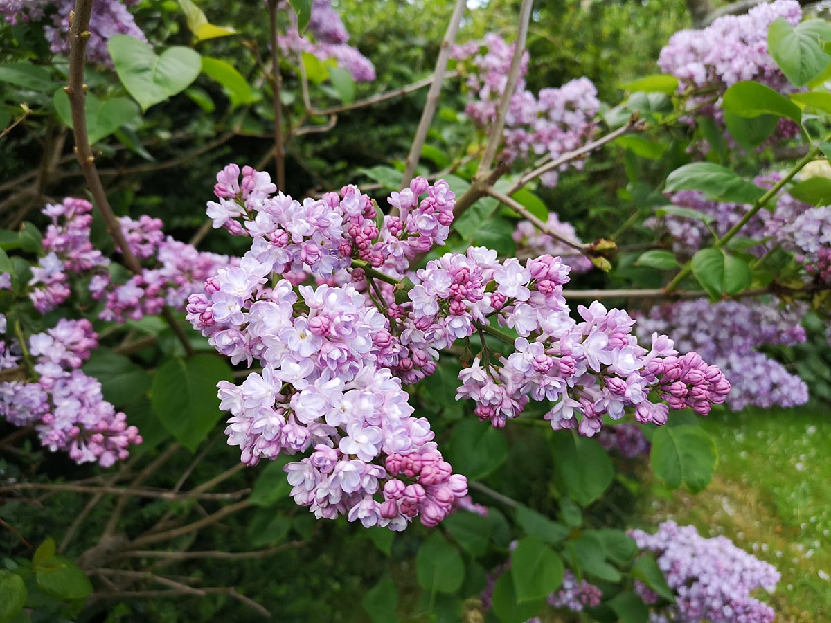 Pinky Lilac at top of Orchard -double