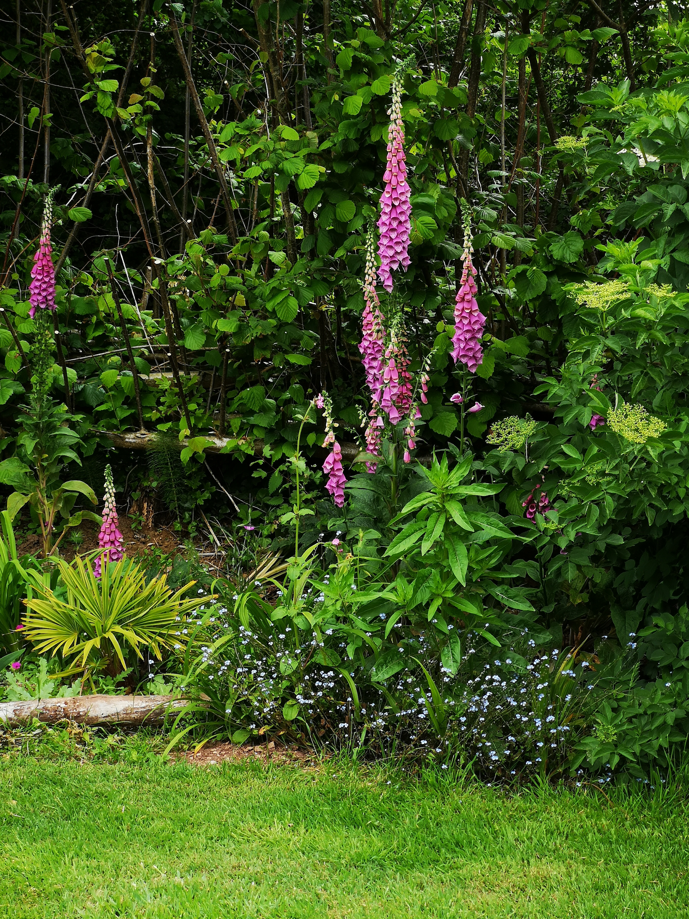 Foxgloves in The Orchard border