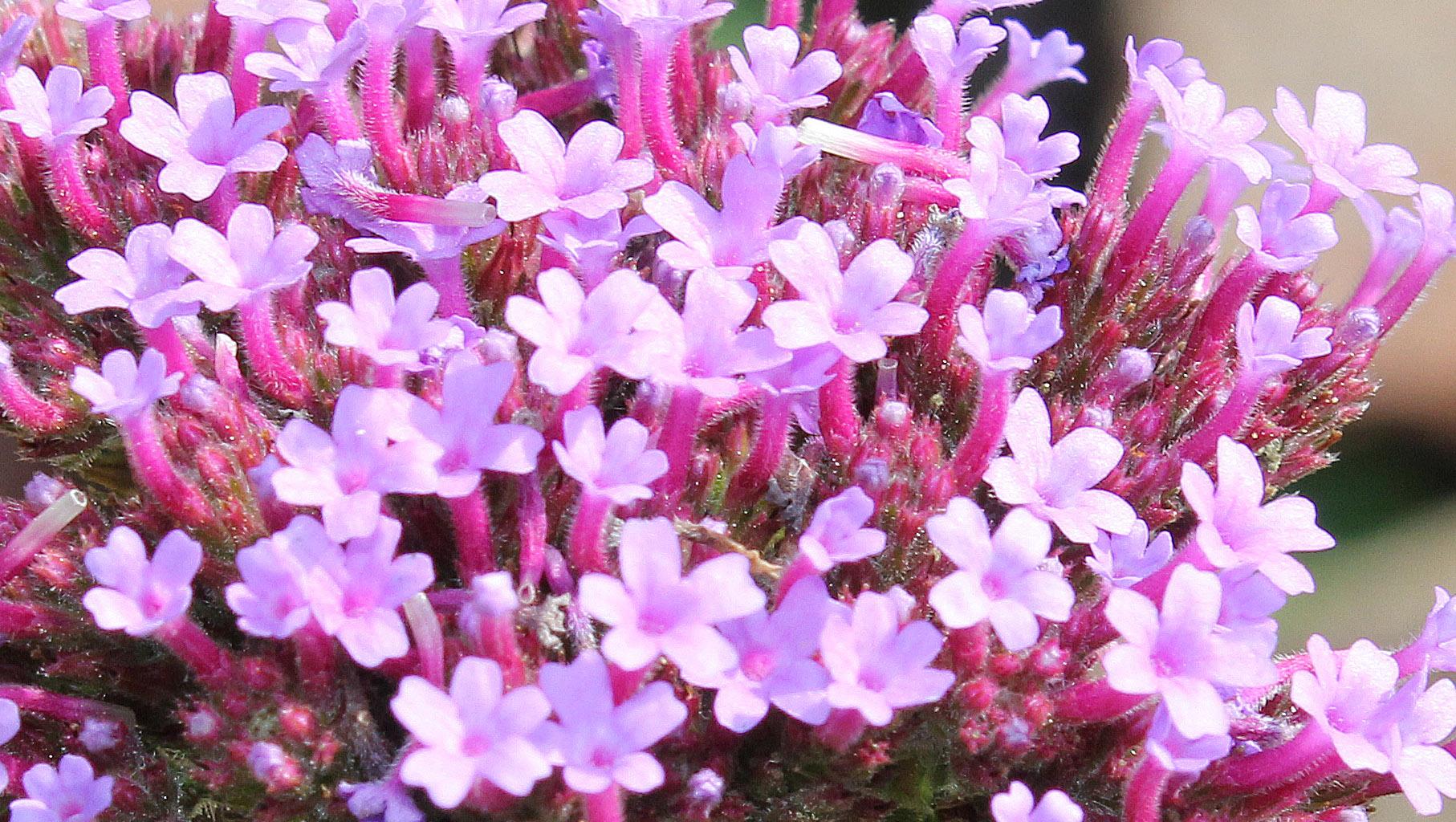 Verbena bonariensis (Argentinian vervain)