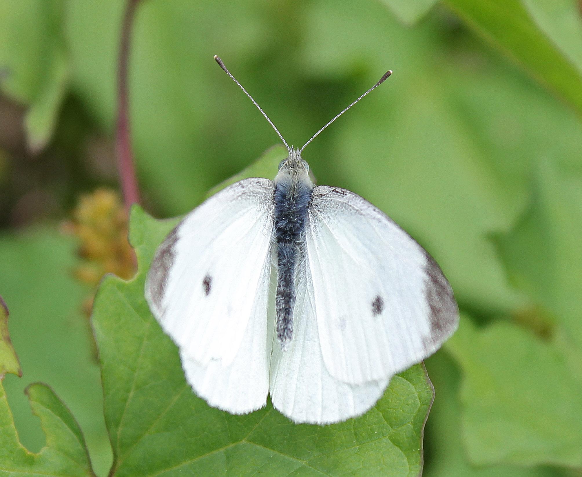 Cabbage White butterfly (Pieris brassicae)