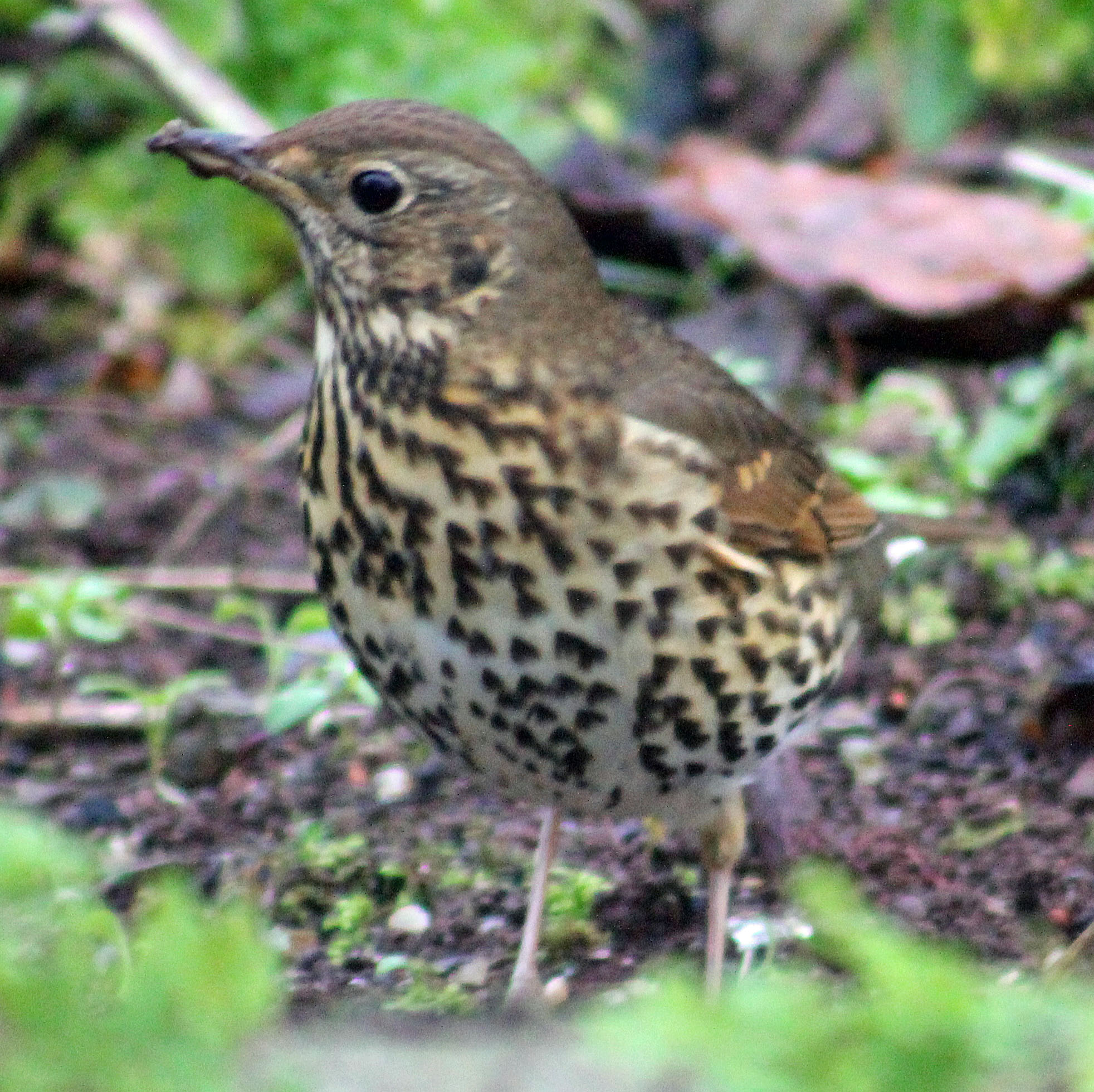 Song Thrush, Turdus philomelos