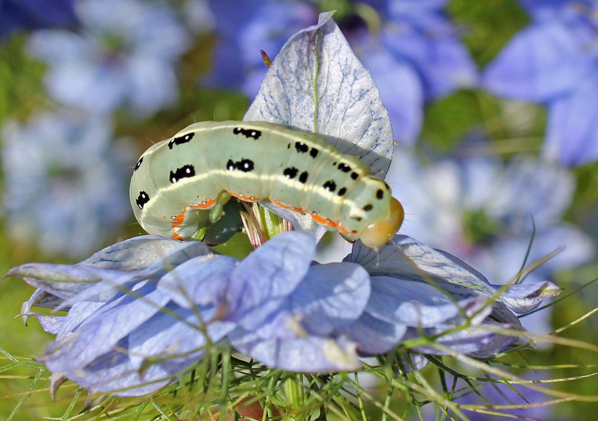 ? caterpillar