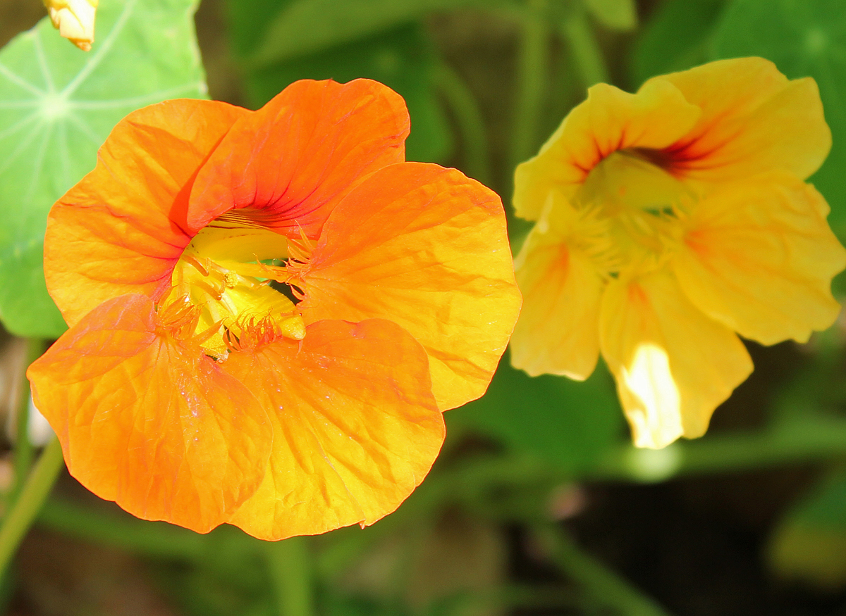Tropaeolum majus (garden nasturtium, Indian cress or monks cress).