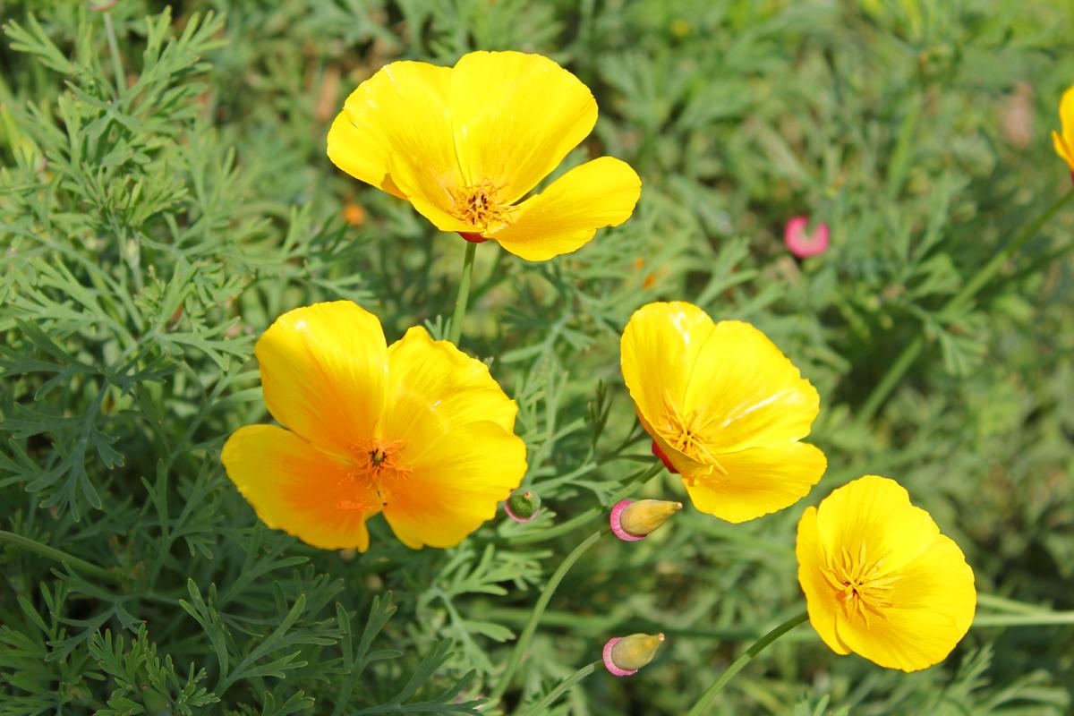 Californian poppy, Eschscholzia californica, family Papaveraceae