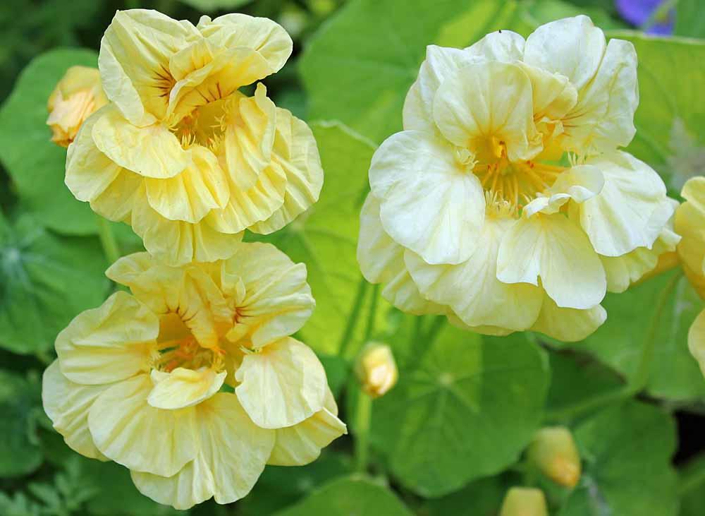 Tropaeolum majus (garden nasturtium, Indian cress or monks cress).