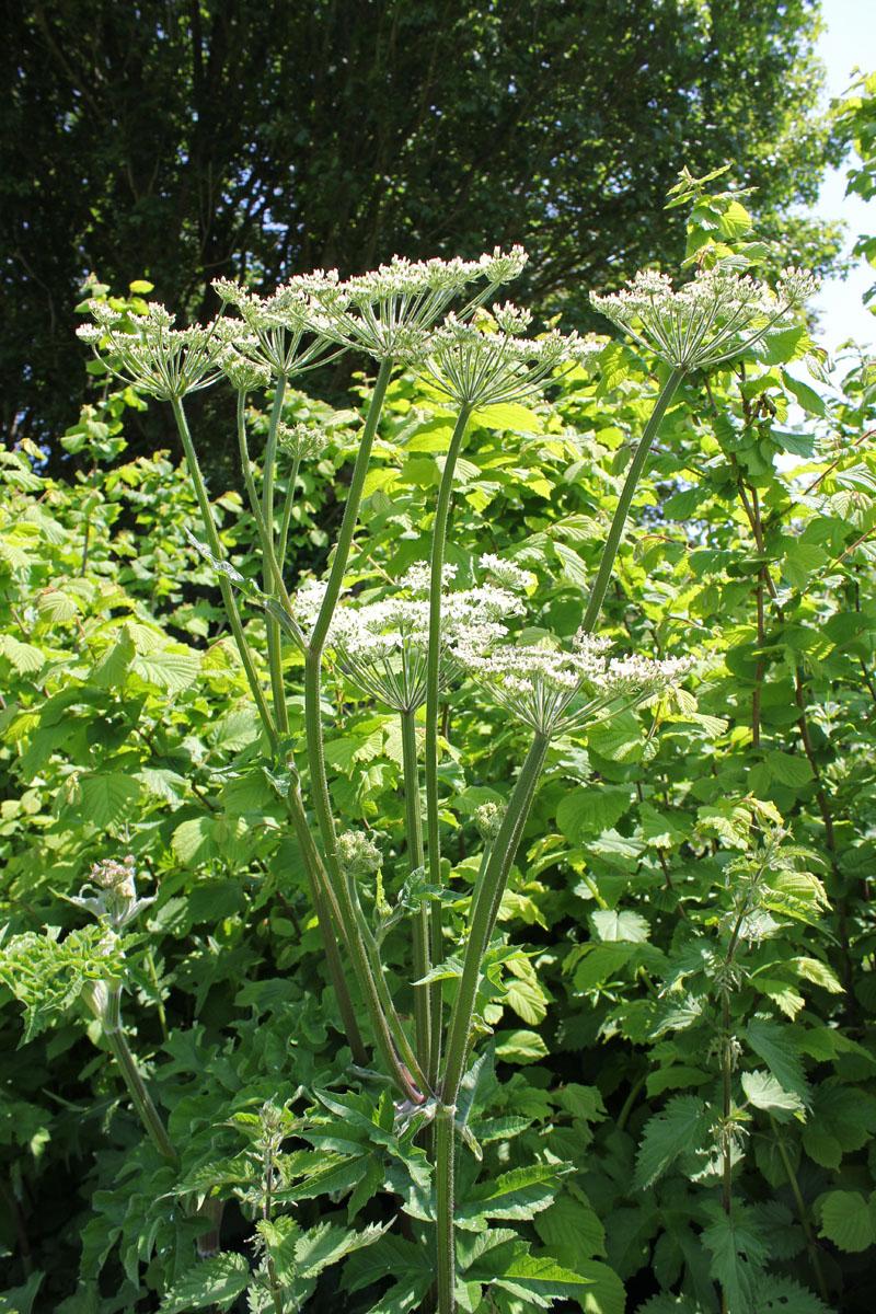 Giant Hogweed - Heracleum Sphondylium