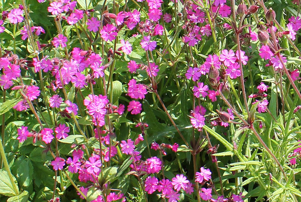 Rose Campion - Silene dioica,