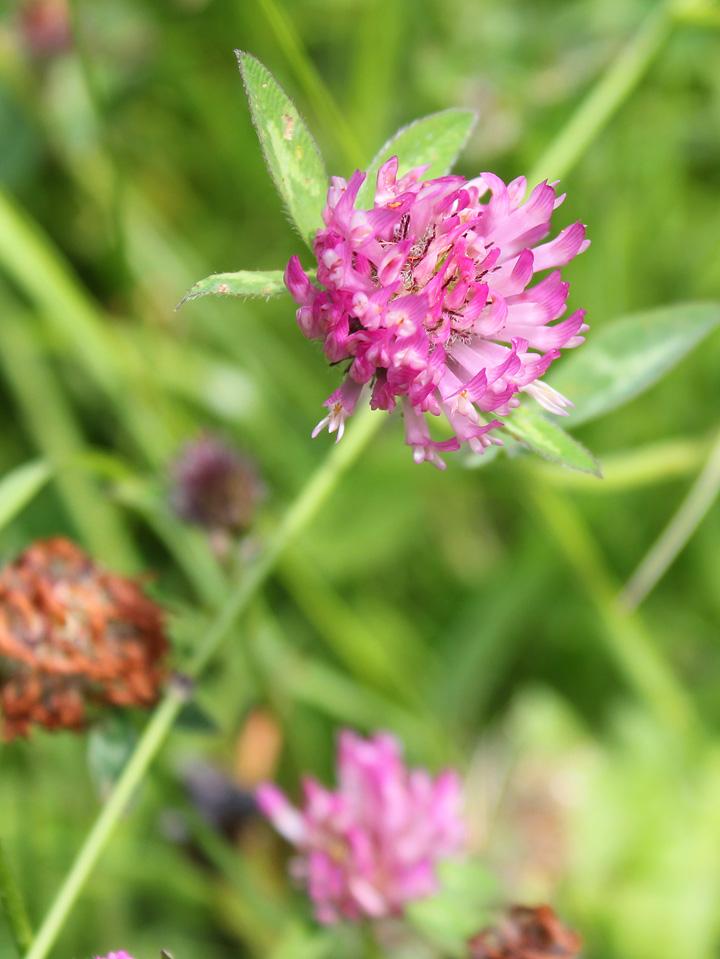 Broad-leaved Clover - trifolium pratense