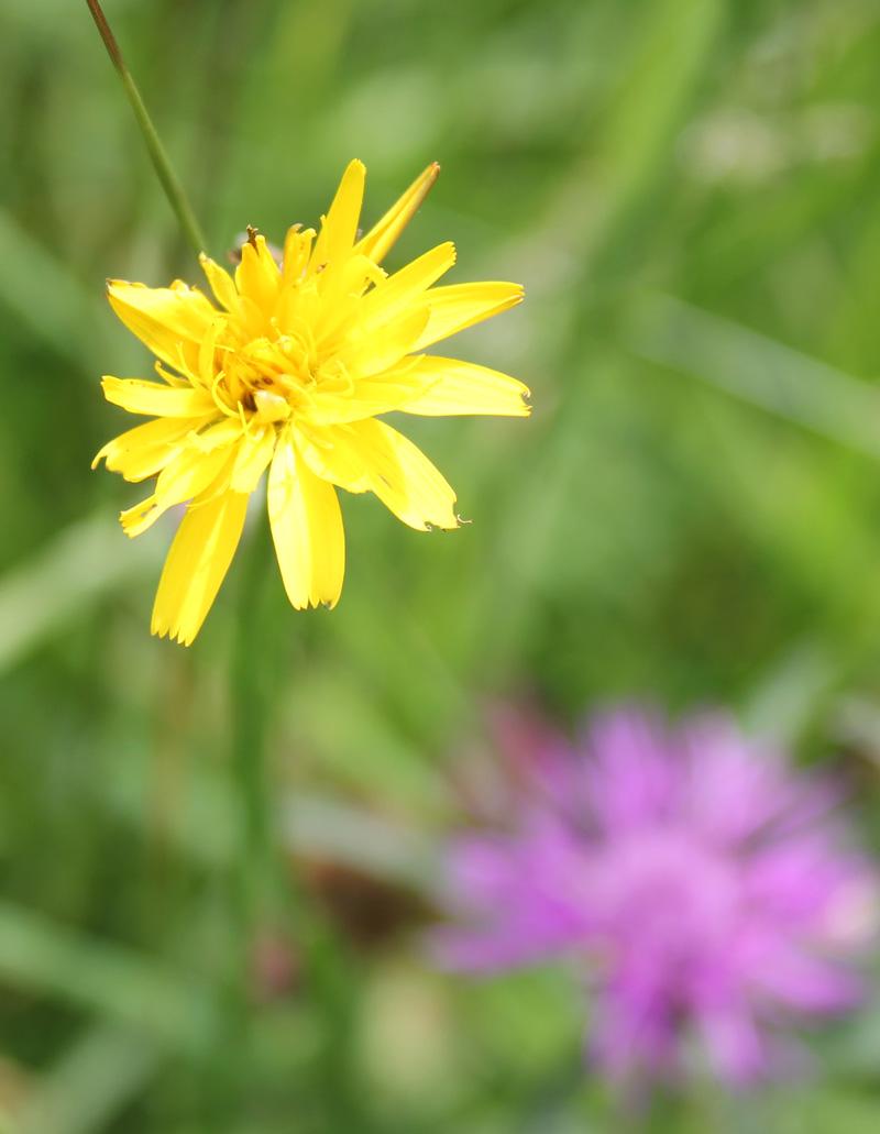 False Dandelion - Hypochaeris radicata L.