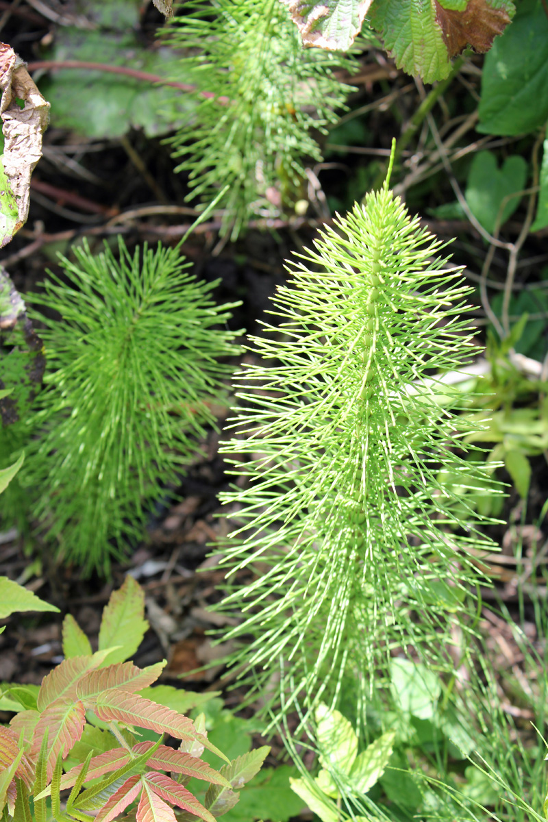 Mare's Tail